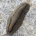 Cuban Slug or Two-striped Slug