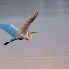 Morning Flight by James Newberry - Animals Birds ( bird, dawn, nature, outdoors, morning )