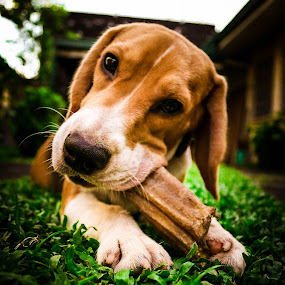 The Beagle by Israel  Padolina - Animals - Dogs Playing ( playing, beagle, dog )