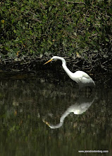 Photo: Great Egret at Laguna de Quelele