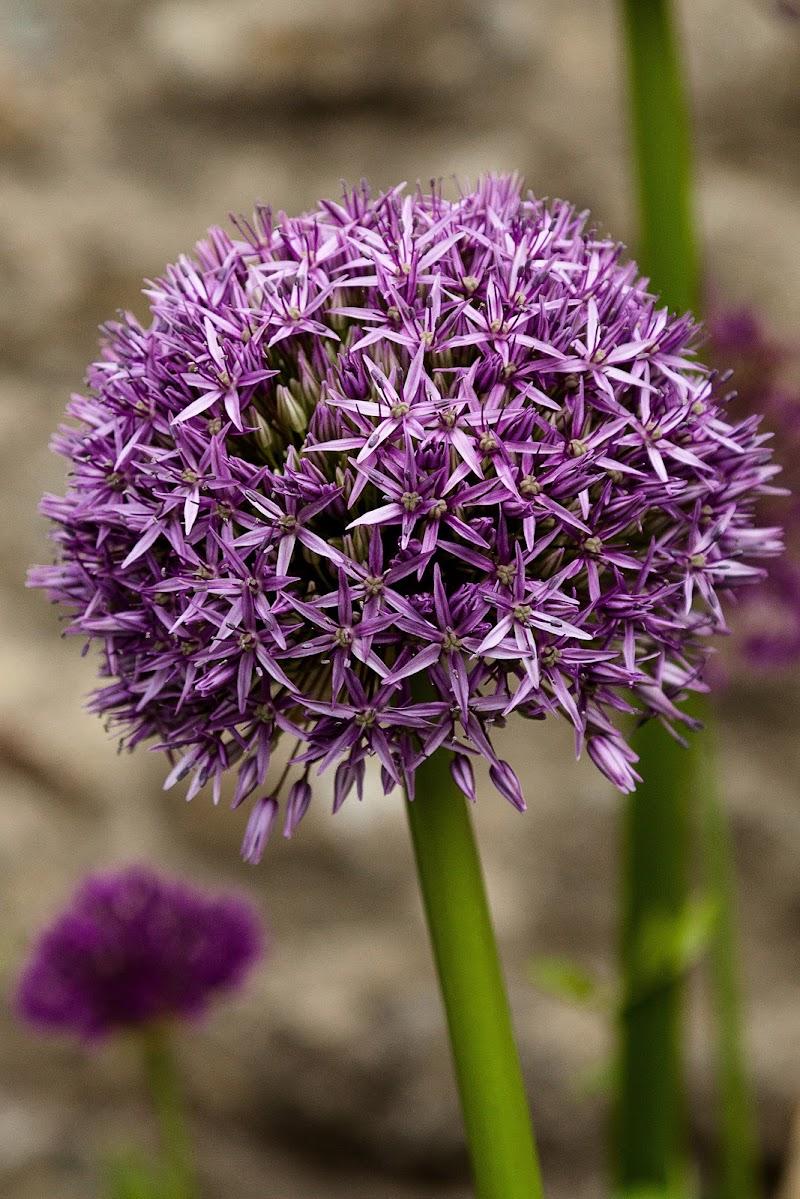 Allium  di simonetta121212