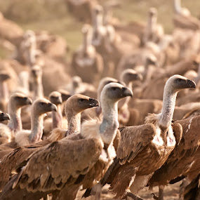 March of the Vultures by Simon Armstrong - Animals Birds ( birds of prey, vulture, nature, griffon vulture, wildlife, gyps fulvus, spain )