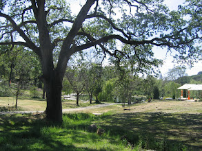 Photo: Yoga Farm, CA - oak tree