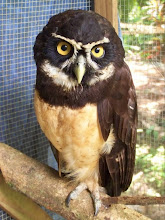 Photo: Buho de anteojos o Spectacled Owl. He flew into a barbed wire, injured his wings- healed pretty quickly was released in 2 weeks