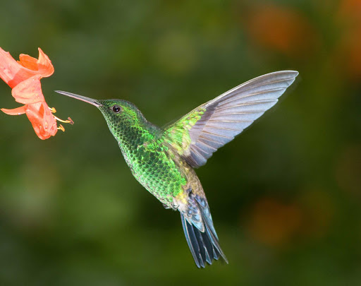 panama-canal-hummingbird.jpg - See gorgeous hummingbirds and rare wildlife on a cruise to the Panama Canal.