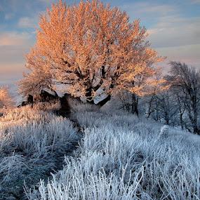 Frozen morning by Boris Michaliček - Landscapes Forests ( tree, freeze, sunrise, morning, slovakia )