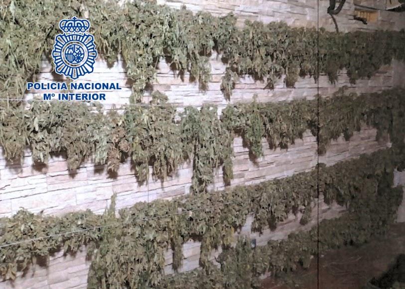 La Policía Nacional localiza 1.200 plantas de marihuana.