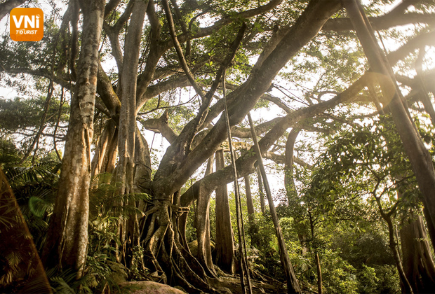 The thousand year-old banyan tree in Son Tra, Danang