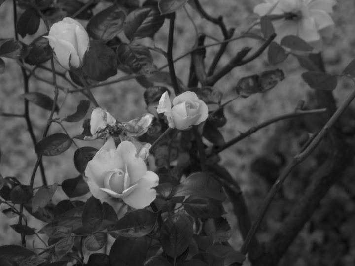 old roses di decazuc
