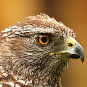 i see !! by Martin Hughes - Animals Birds ( eagle, bird of prey, eagles )