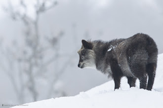 Photo: Japanese serow stand 60 to 90 centimetres at the shoulder and weigh 30 to 130 kilograms. Japanese serow are mottled brown and white and black underneath. Their fur is very bushy, their tails especially. Both sexes have short 10 centimetre horns, which curve backwards. (Wikipedia)