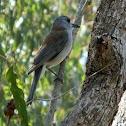 Grey Shrike Thrush - male