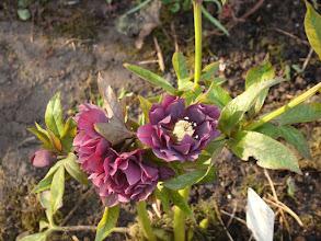 Photo: Double Ellen purple