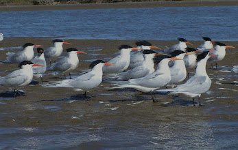 Photo: Elegant terns