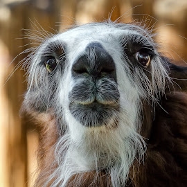 Llama by Dave Lipchen - Animals Other Mammals ( llama )