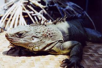 Photo: #021-Iguane-Yogyakarta-Java