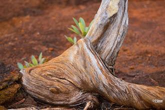 """Photo: [RO] """"Împamantarea"""" chiparosului candelabru (Neo Callitropsis pancheri)  [EN] """"The grounding"""" of the chandelier cypress (Neocallitropsis pancheri)"""