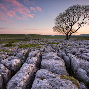 Candy before breakfast by Neil O'Connell - Nature Up Close Trees & Bushes ( lone tree, dawn, tree, yorkshire, malham, sunrise, landscape, limestone pavement )