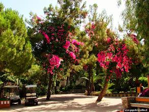 Photo: #014-Bougainvillées multicolores au Club Med de Bodrum