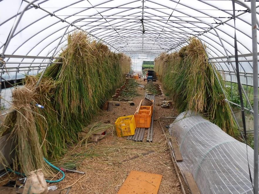 15mくらいの稲架に2段で稲がいっぱいになりました。
