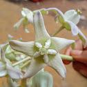 Crown flower white form