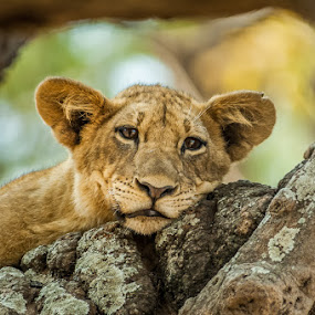 Lazy cub by Joggie van Staden - Animals Lions, Tigers & Big Cats ( lion, nature, wildlife, cub, animal,  )
