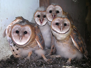 Photo: Barn Owlets are almost fully fledged and ready for banding