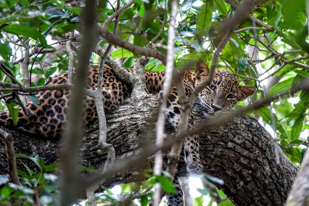 Sri. Lanka Wilpattu National Park . Lazy leopard in tree