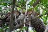 Sri. Lanka Wilpattu National Park . Lazy leopard in tree