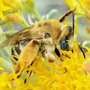 Long-horned bee(female)