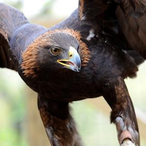 Hawk Eye by Andrea Silies - Animals Birds ( bird, hawk )
