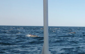 Photo: Hundreds of Common dolphins surround our boat.