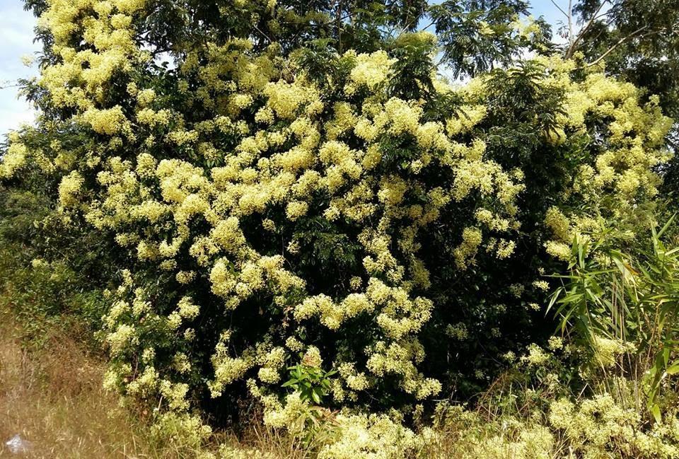 Hoa của cây dại ven quốc lộ 48 , thơm nồng !