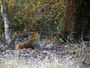 Photo: The leopard - it was amazing seeing him and his partner. They are normally such shy but cunning cats!