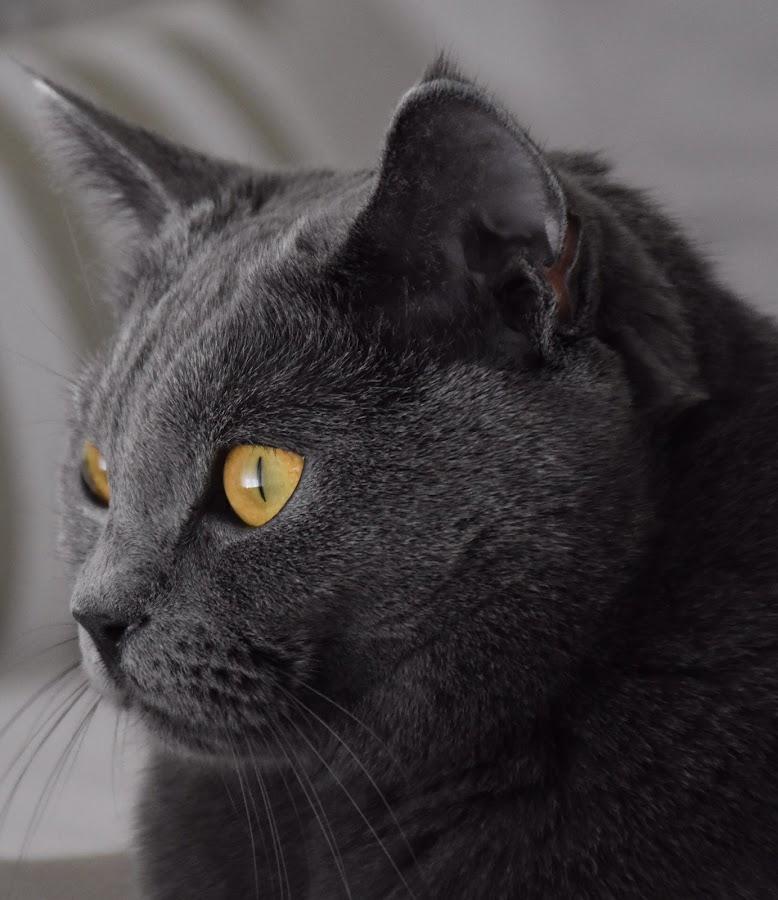 Joconde de Ventadour by Isabelle Ebens - Animals - Cats Portraits