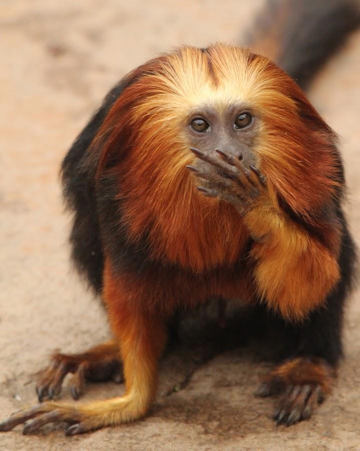 Tamerin by Ralph Harvey - Animals Other Mammals ( chessington zoo, wildlife, ralph harvey, monkey, animal )