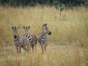 Photo: Zebras!