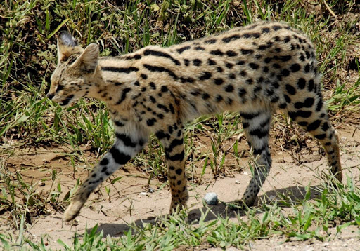 Savannah Cats Wallpapers FREE