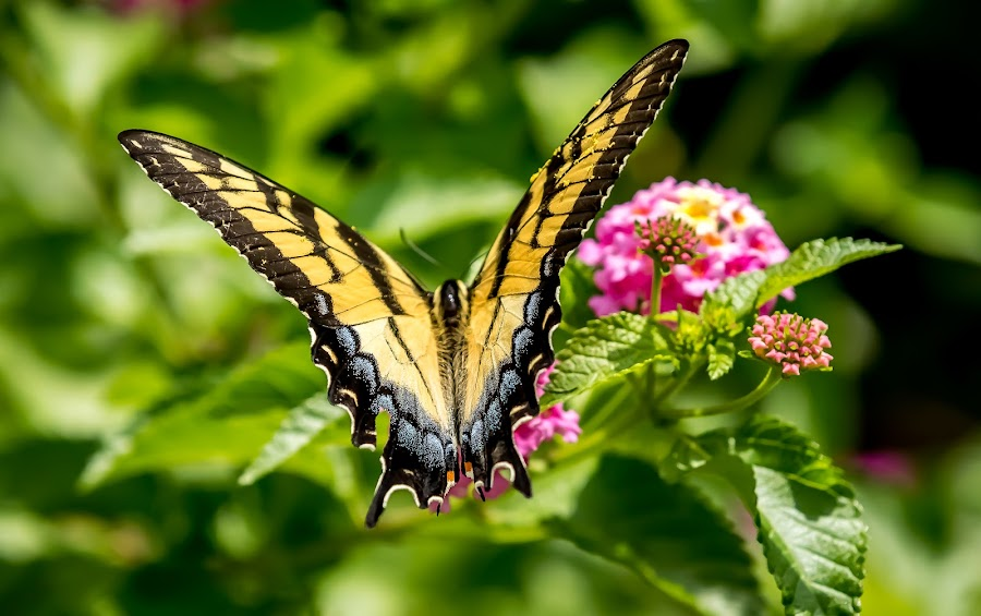 by Ed Stines - Animals Insects & Spiders ( plant, butterfly, nature, nectar, swallowtail butterfly,  )
