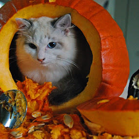 There's No candy in here! by Barb Moore - Public Holidays Halloween ( munchkin, pumpkin, pwcpumpkins, kitty, halloween, #GARYFONGPETS, #SHOWUSYOURPETS )