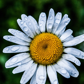 rainy daisy by Tim Hauser - Nature Up Close Flowers - 2011-2013 ( nature, art, fine art, plants, daisy, flowers )