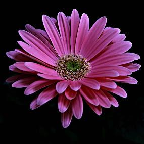 Pink Gerbera by Pieter J de Villiers - Flowers Single Flower