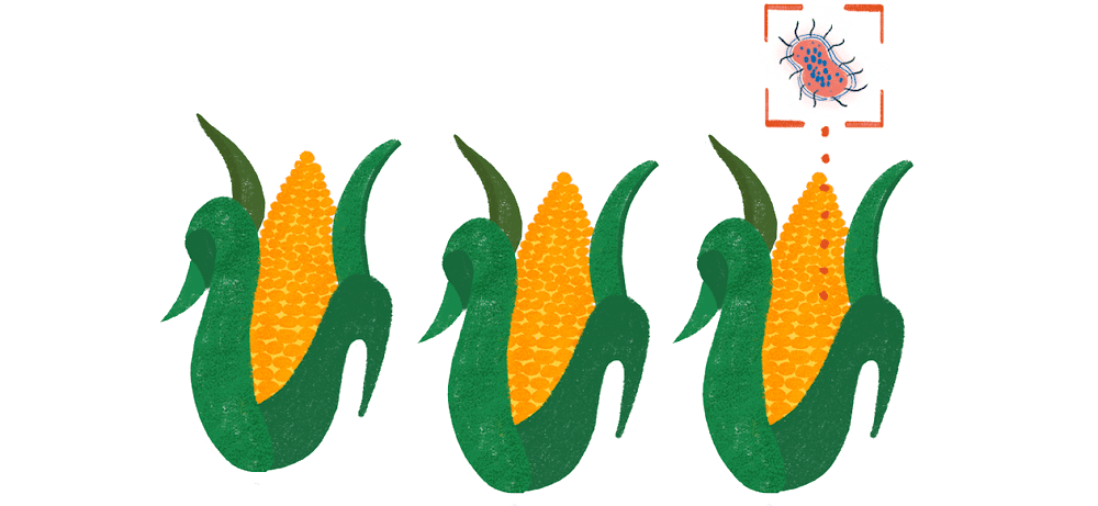 An AI-powered program is analyzing three ears of corn. It has identified and magnified a microbe of some kind living on one of them.