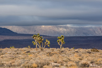 Photo: Joshua Trees along the entrance road from Lone Pine in Death Valley National Park.