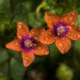 Scarlet pimpernel by David Winchester - Flowers Flowers in the Wild (  )