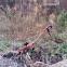 Wandering Violin Mantis