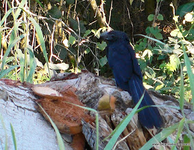 Photo: Groove-billed Ani, Matanchen Bay