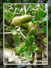 Photo: Chêne kermès, Quercus coccifera
