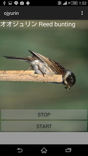 鳥鳴き声オオジュリン