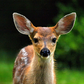 Fawn #2 by Steve Kane - Animals Other Mammals